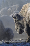 A Frost Covered Bison