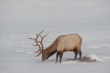 A Bull Elk Forages in a Bleak Snowy Landscape