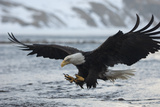 A Bald Eagle  Haliaeetus Leucocephalus  Fishing