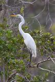 Great White Egret  Casmerodius Albus