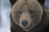 Close Up Portrait of a Brown Bear  Ursus Arctos