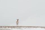 A Pronghorn Looks Alert in a Snowy Landscape