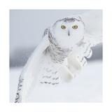 Owl in Flight I