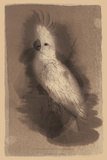 The Antique Parrot II