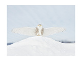 Owl in Flight III