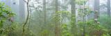 Lady Bird Johnson Grove of Old-Growth Redwoods  California