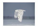 Owl in Flight IV