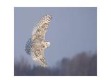 Owl in Flight V