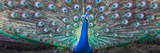 Dancing Peacock  India