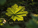Close Up of a Devil's Club Leaf  Oplopanax Horridus  in Boreal Rainforest