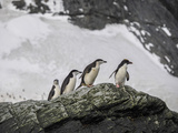 A Trio of Chinstrap Penguins and Single Macaroni Penguin on a Rock Outcrop