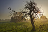 A Gnarled Old Apple Tree in Misty Sunrise Light