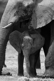 An African Elephant Calf Standing under its Mother