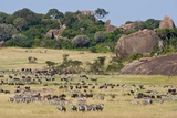 Zebras and Wildebeests (Connochaetes Taurinus) During Migration  Serengeti National Park  Tanzania
