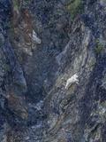 A Mountain Goat  Oreamnos Americanus  Climbing a Steep Mountain Side