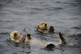 Two Sea Otters  Enhydra Lutris  Floating on their Backs