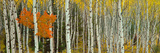 Aspen Trees in a Forest  Valley Trail  Grand Teton National Park  Wyoming  Usa