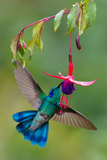 Green Violetear (Colibri Thalassinus) Feeding  Savegre  Costa Rica
