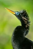 Anhinga (Anhinga Anhinga)  Tortuguero  Costa Rica