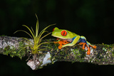 Red-Eyed Tree Frog (Agalychnis Callidryas), Sarapiqui, Costa Rica Papier Photo