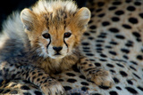 Close-Up of Cheetah (Acinonyx Jubatus) Cub  Ndutu  Ngorongoro Conservation Area  Tanzania