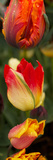 Close-Up of Tulip Flowers