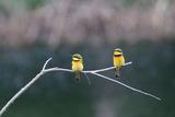 Two Little Bee Eaters  Merops Pusillus