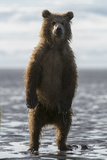 A Grizzly Bear Cub  Ursus Arctos Horribilis  Stands on the Tidal Flats
