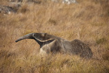 A Giant Anteater  Myrmecophaga Tridactyla  in a Grassland