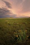Wild Iris Flowers Grow in Long Prairie Grass