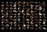 Composite of 110 Different Species of Ducks and Geese