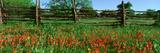 Indian Paint Brush Flowers  Lbj National Historical Park  Johnson City  Texas