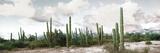 Cardon Cactus Plants in a Forest  Loreto  Baja California Sur  Mexico