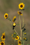 An American Goldfinch Perches on a Sunflower Stalk