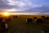 Cattle Stand on an Open Pasture at Sunset