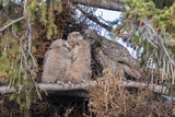 A Great Horned Owl Mother  Bubo Virginianus  Grooms Her Owlets
