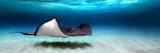 Southern Stingray (Dasyatis Americana)  North Sound  Grand Cayman  Cayman Islands