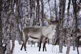 A Reindeer  Rangifer Tarandus  in a Snowy Forest