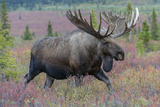 A Bull Moose  Alces Alces  Walks in the Tundra of Denali National Park