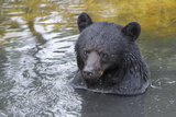 A Black Bear  Ursus Americanus  Enjoys a Bath