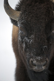 Close Up Portrait of an American Bison  Bison Bison