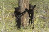 Black Bear Cubs  Ursus Americanus  Hug a Tree While Looking for their Mother