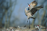 A Sandhill Crane Leaps While Performing a Courtship Dance