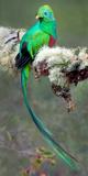Resplendent Quetzal (Pharomachrus Mocinno), Savegre, Costa Rica Papier Photo