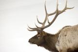 Portrait of a Bull Elk  Cervus  Elaphus  in a Stark Snowscape
