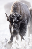 Portrait of a Frost-Covered American Bison  Bison Bison