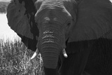 Close Up of an African Elephant's Face