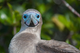 A Red Footed Booby on Genovesa Island in the Galapagos