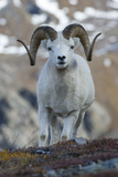 A Dall's Sheep Ram  Ovis Dalli  Stands in a High Mountain Meadow
