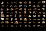 Composite of 80 Different Species of Rodents